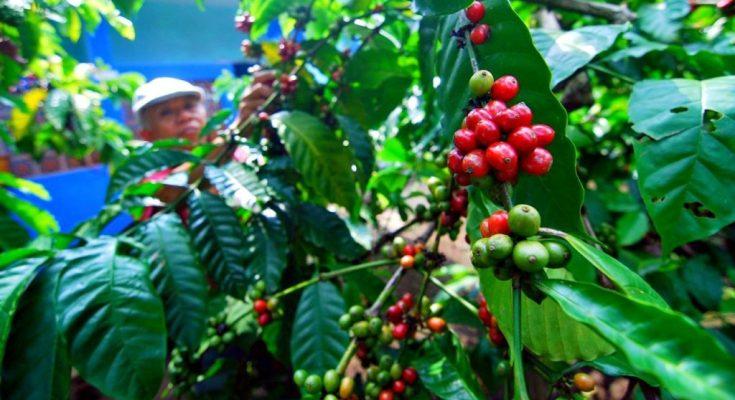 1570736185kopi-robusta-dampit-malang-desalogi-001.jpg