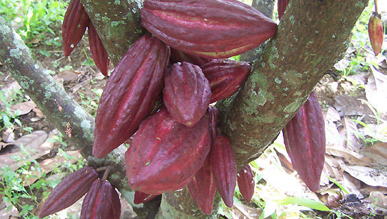 Pandemi Global, Ekspor Olahan Kakao Indonesia Naik Sentuh Angka USD 549 Juta
