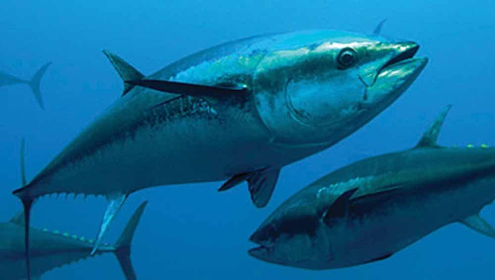 Ikan Tuna Sebarat 405 Kg di Jepang Setara 5 Mobil Alphard