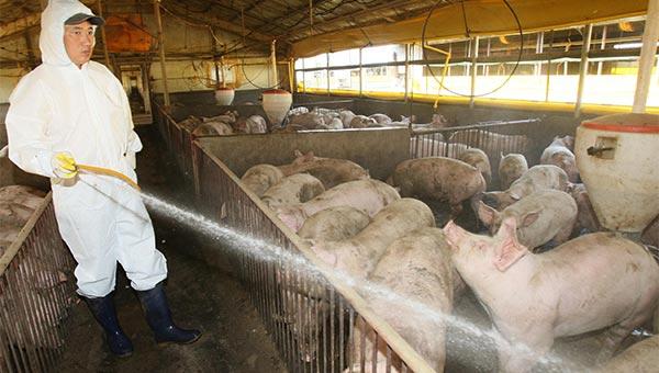 Jepang Dilanda Demam Babi, Apakah Berbahaya Bagi Manusia?