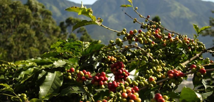 Maraknya Bisnis Kedai Kopi Angkat Produksi dan Kesejahteraan Petani