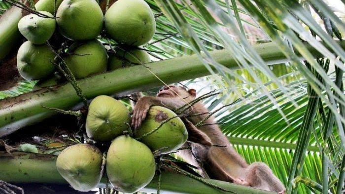 Kelapa Sumatera Barat Berjaya di Eropa dan Amerika