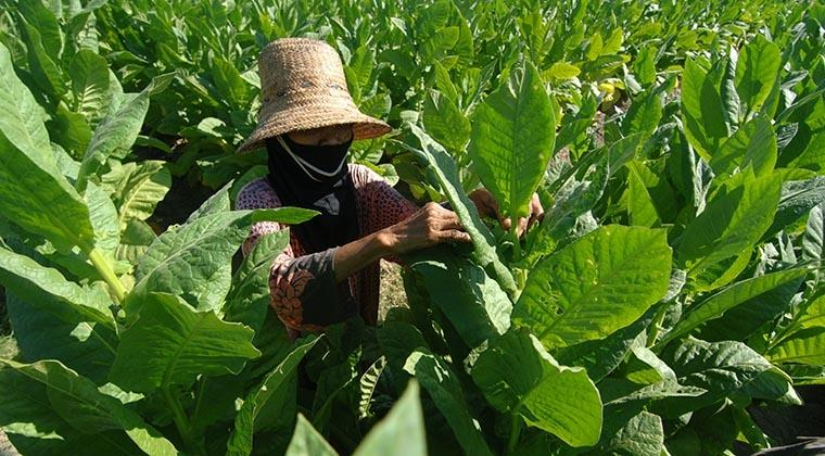 Bupati Temanggung Minta Pabrik Rokok Besar Beli Tembakau Petani