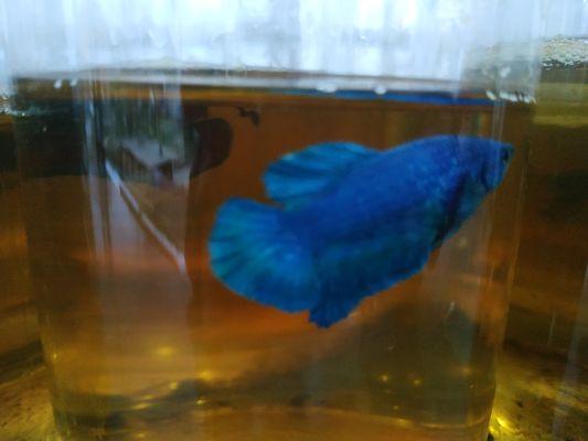 Ikan cupang yang bisa mendatangkan keuntungan. | jakartainsight.com
